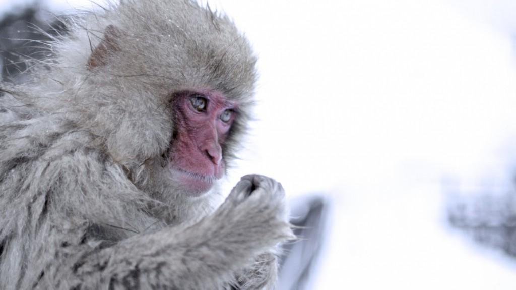 Snowmonkeys Nagano