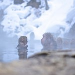 MEET THE SNOW MONKEYS