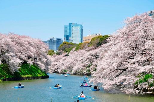 Chidorigafuchi Ryokudou Sakura