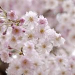 Cherry Blossom (SAKURA) Spots in Japan from late April