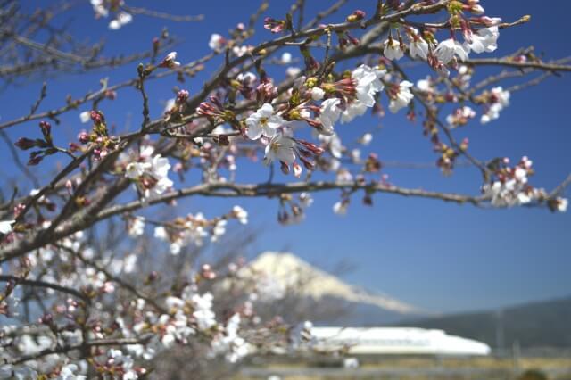 Mount Fuji Shinkansen Sakura