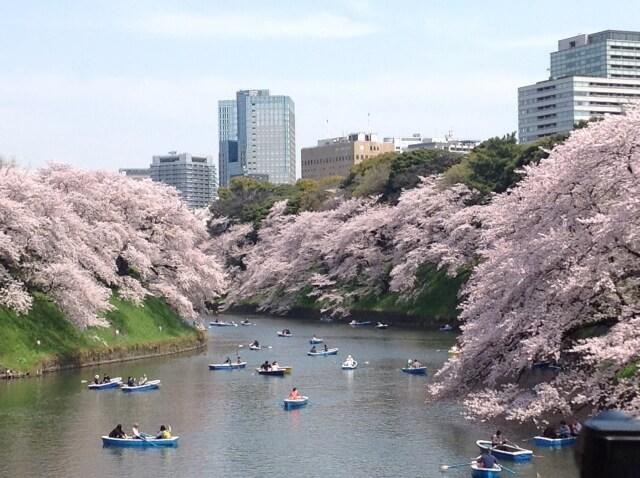 Sakura Chidorigafuchi / Tokyo