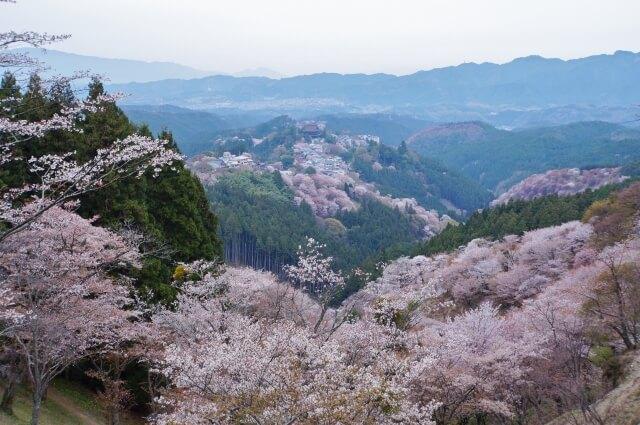 Sakura Mt. Yoshina Nara