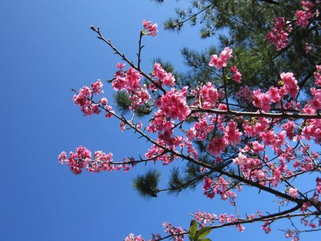 Sakura Shizuoka and Kanagawa