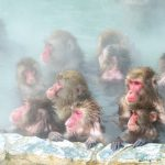 Must See Spot, Snow Monkeys In Nagano & Suggested tourism spots around the park.
