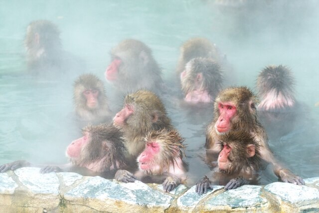 Snow Monkey, Nagano, Jigokudani, Monkey Park, Onsen, Day trip from Tokyo, Winter Activity, Family Friendly Itinerary in Japan