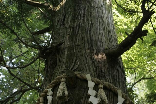 Mount Takao Tako Sugi ceder tree
