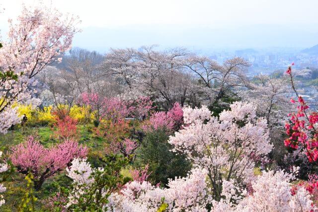 Sakura Hanamiyama Park/Fukushima