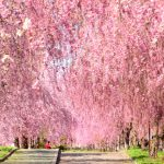 The Best Sakura Blooming Spots in Japan [Forecast 2020]