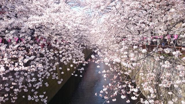 Sakura Meguro River