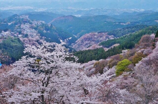 Sakura Mount Yoshino /Nara