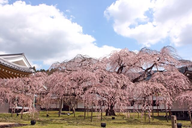 Sakura Daigoji temple/ Kyoto