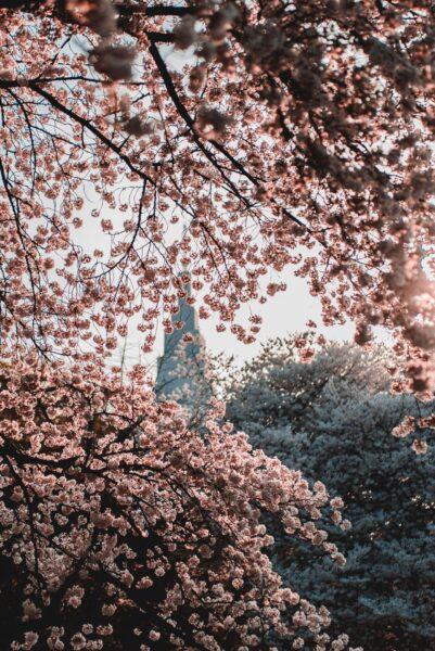 shinjuku gyoen sakura