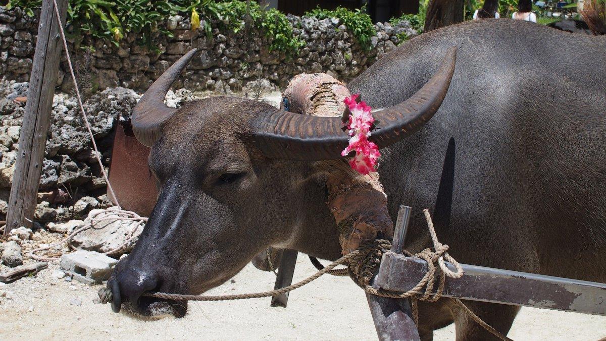 Water buffalo Okinawa