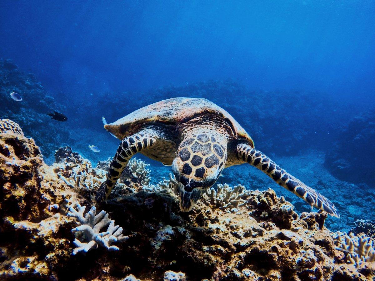 Turtle Okinawa Sea