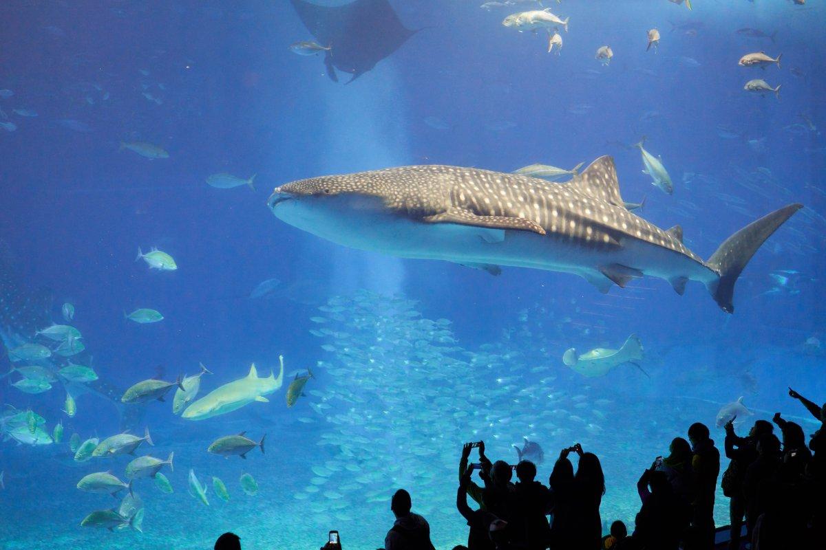 Okinawa aquarium shark