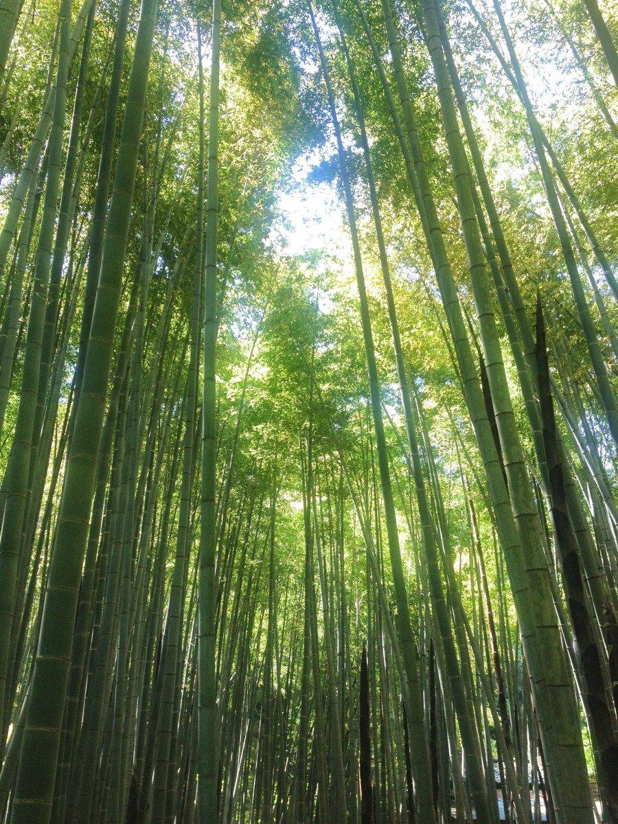 Bamboo forrest Kamakura