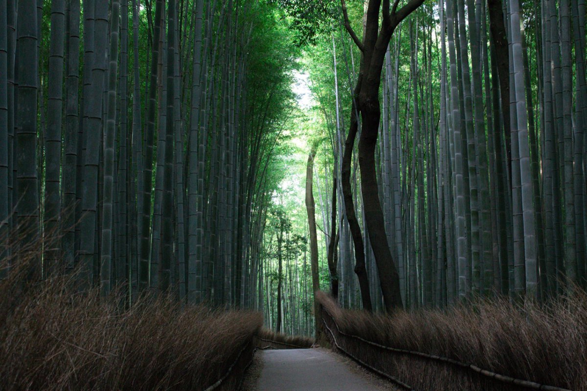 Bamboo Grove,  Bamboo Forest, Arashiyama, Kyoto, Family Friendly Destination