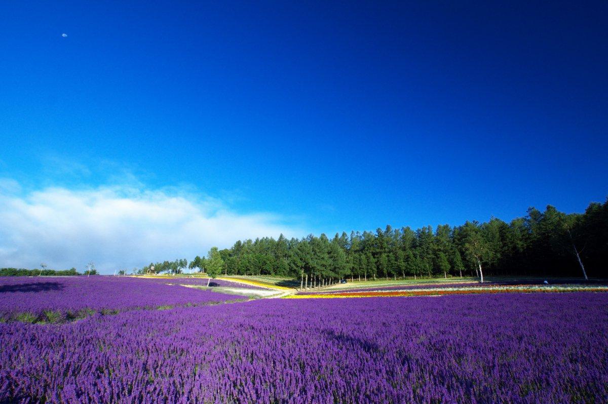 Lavender fields Hokkaido
