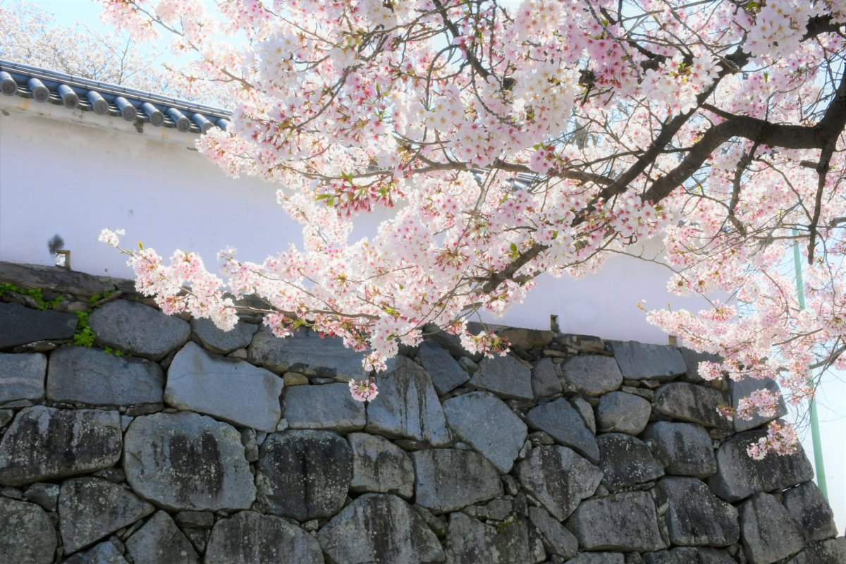 Sakura Fukuoka Castle