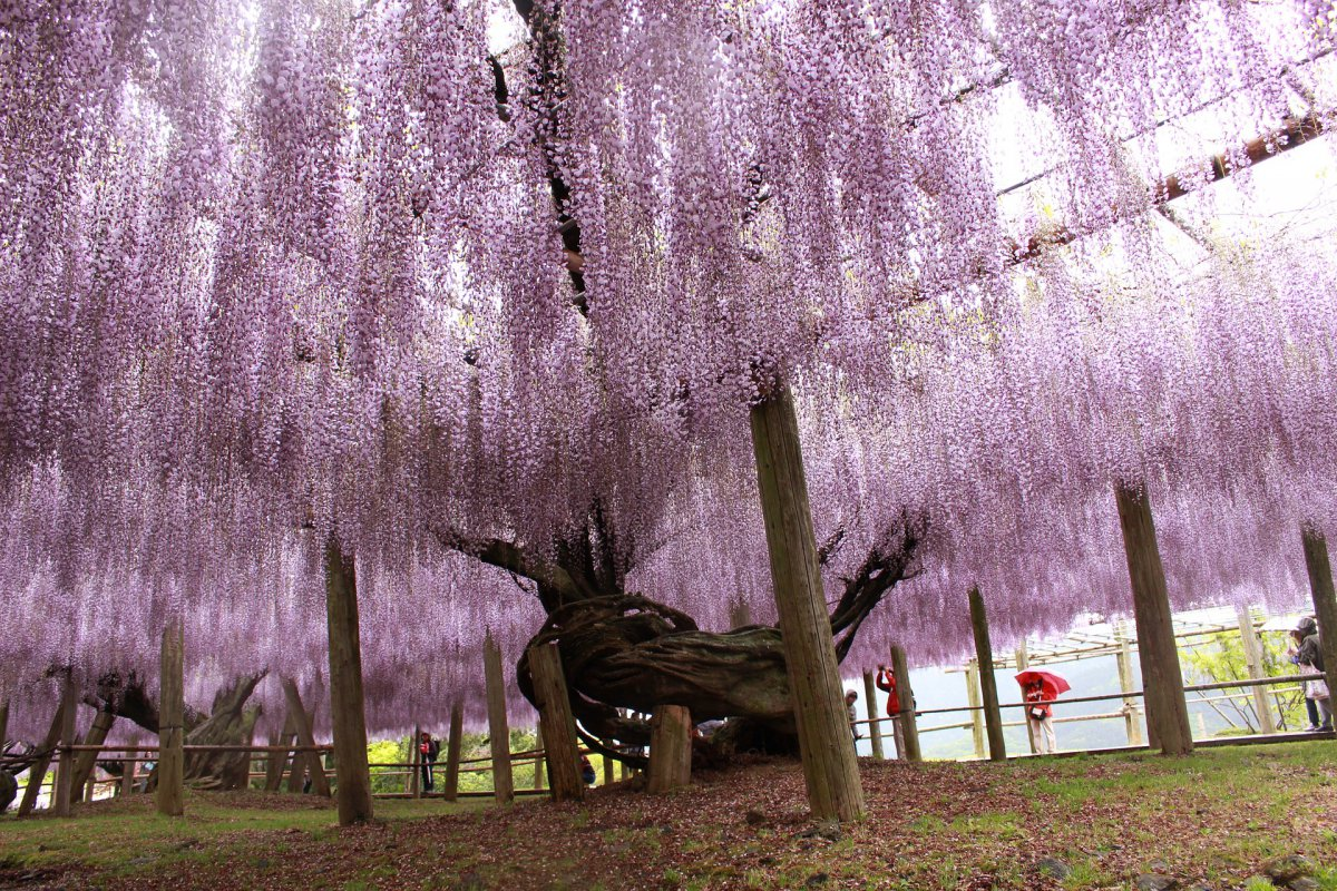 wisteria kawauchi Fujien fukuoka