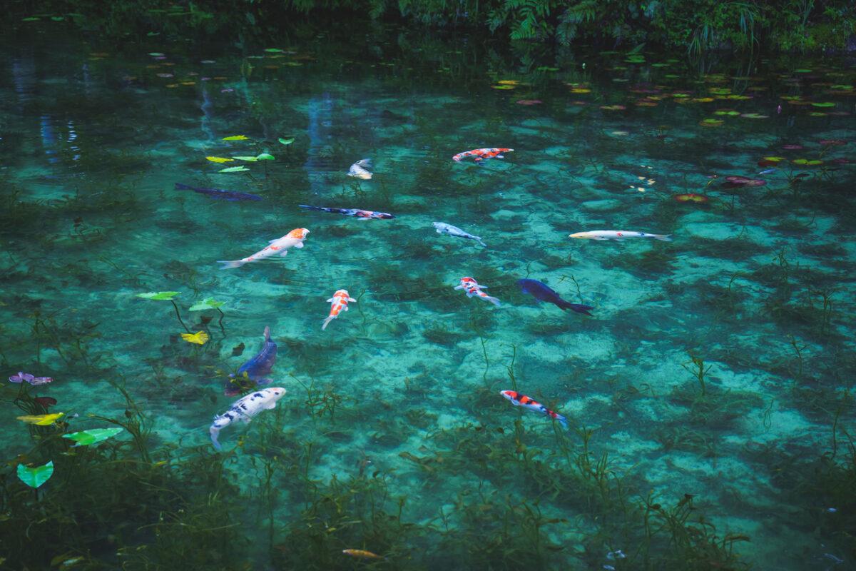 Monet's Pond Gifu