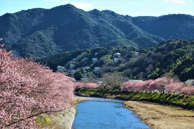 kawazu zakura izu peninsula