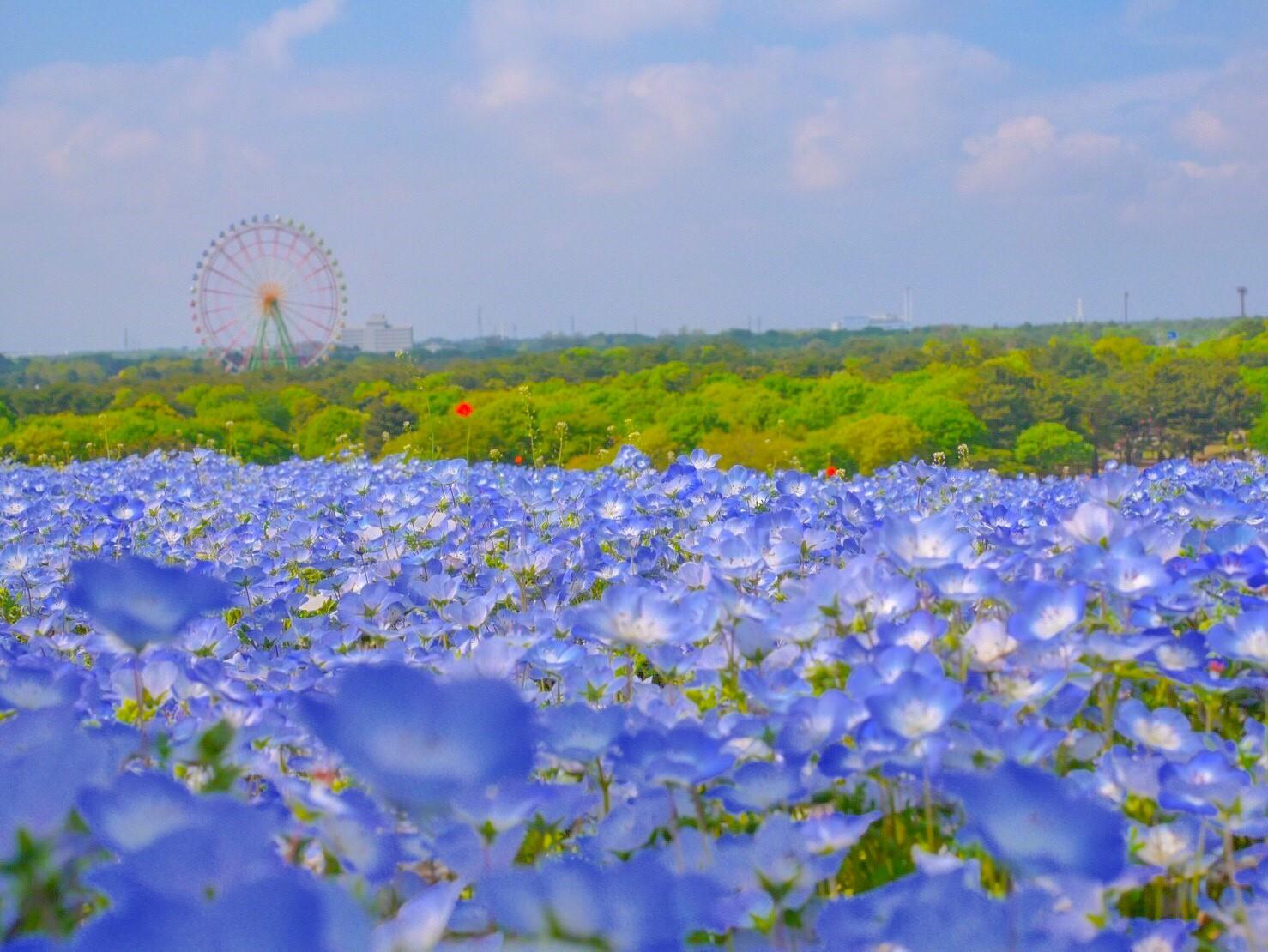 flower parks japan Hitachi Seaside Park