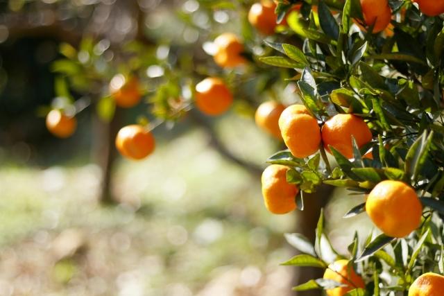 Mikan fruit