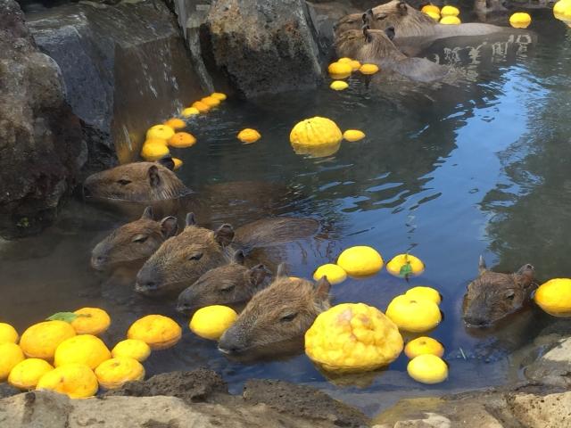 Capybara-yuzu