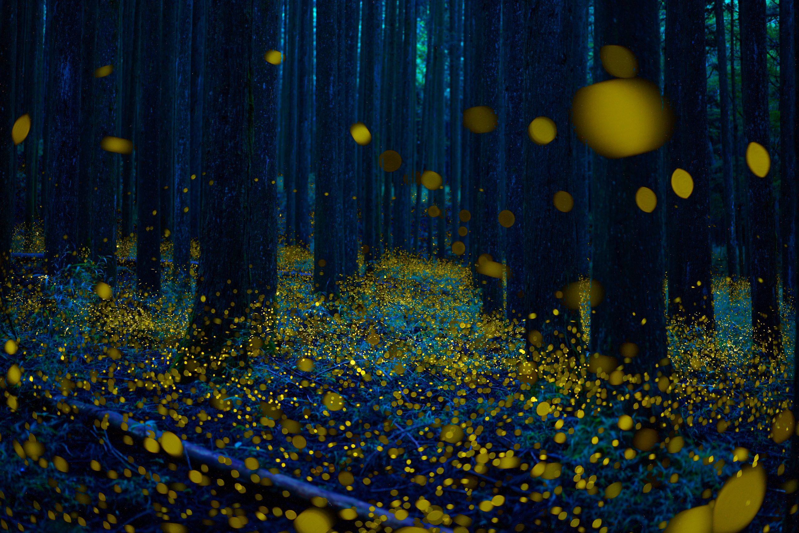 Hotaru fireflies